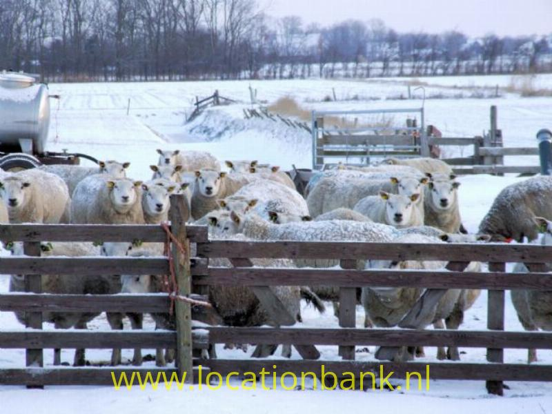 schapen thuis
